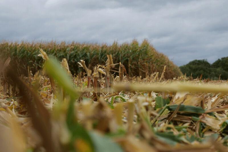 Maiszünslerbekämpfung im Herbst